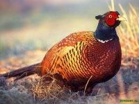 Тернопільські мисливці випустили у дику природу  сто фазанів
